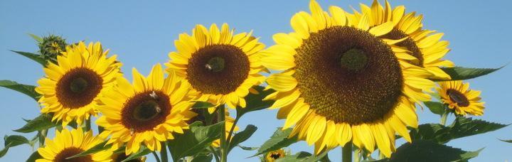 11_sonnenblumen.jpg