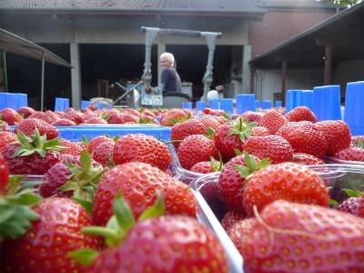 Erdbeeren - immer frisch!