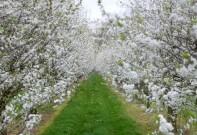 DieKirschbäume in voller Blüte.