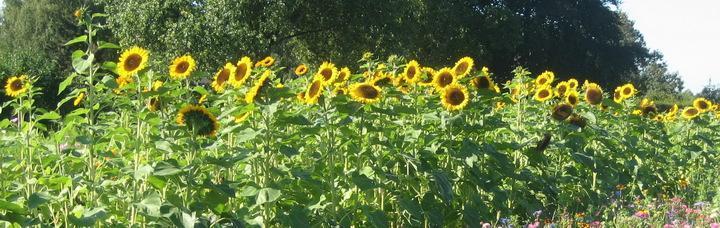 08_sonnenblumen.jpg