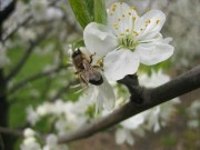 Bienen sind wichtig zum Bestäuben!