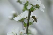 Auch die Bienen sind schon fleißig.
